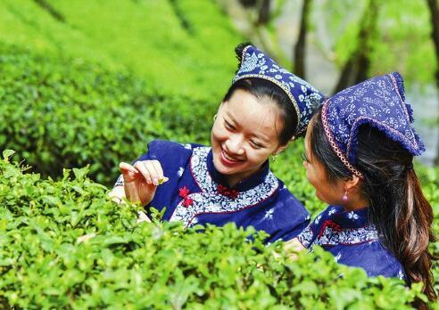 茶产业助力陕南地区群众脱贫致富.jpg
