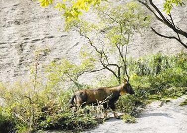 华山发现国家二级 重点保护动物鬣羚.jpg