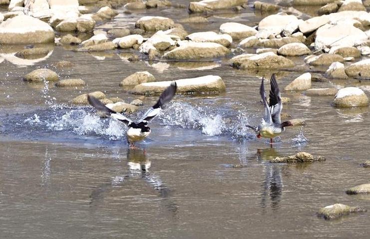 """1月9日,在丹凤县丹江湿地附近出现两只国家一级保护动物中华秋沙鸭。    据了解,中华秋沙鸭属于第三纪冰川末期遗留下来的古老物种,全球数量仅有约2000只,素有""""鸟中大熊猫""""之称。在丹江流域出现中华秋沙鸭的情况十分罕见。    近年来,丹凤县持续加强生态环境保护,域内水质不断提升,众多珍稀鸟类频频出现,为当地增添了一道亮丽的风景线。.jpg"""